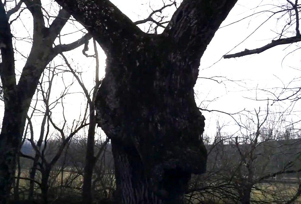 Дерево с ослиной головой