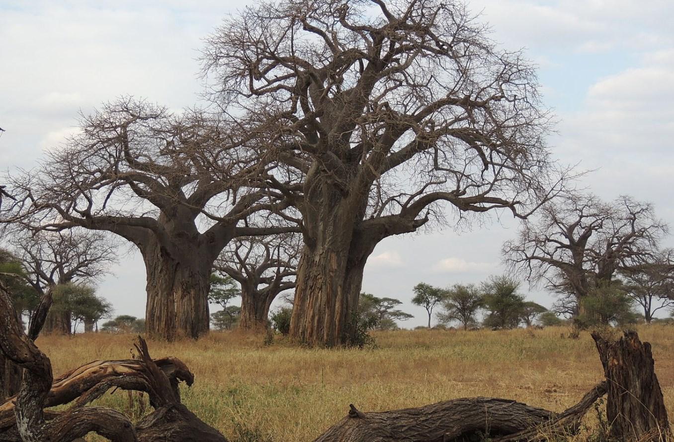 Около 2000 лет прожили эти гигантские деревья, а за последние годы начали гибнуть