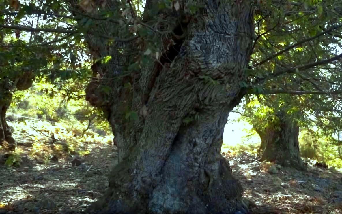 Место, где растут 1000-летние каштаны