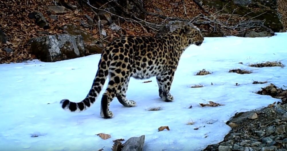 Место в России, где обитает самая редкая в мире крупная кошка - дальневосточный леопард