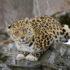 Место в России, где обитает самая редкая в мире крупная кошка — дальневосточный леопард